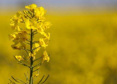 Аграрии увеличат площадь сева озимого рапса в Кабардино-Балкарии в 3,5 раза
