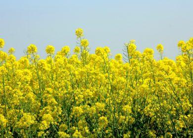 Россия в этом году соберет рекордный урожай рапса