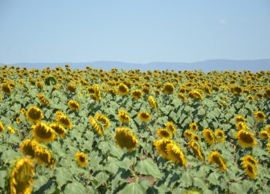 В «Агрокомплексе Ткачева» собрали на 0,7% подсолнечника больше, чем в прошлом году