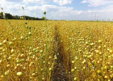 В Республике Башкортостан за неделю проконтролирован экспорт 1,2 тыс. тонн семян масличного льна