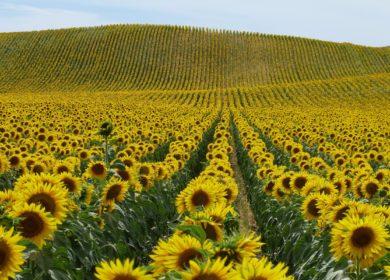 В Ростовской области рассчитывают заручиться господдержкой на развитие производства и выращивания масличных культур