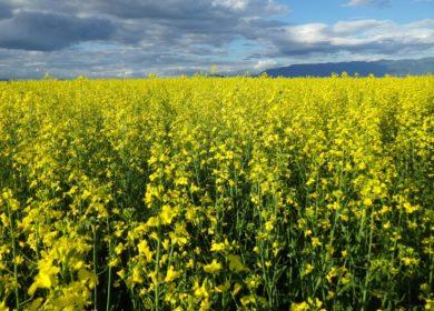 Производство масличных культур планируют увеличить в Забайкалье за счёт федеральных субсидий