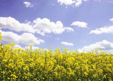 В Stratégie Grains повысили прогноз производства рапса в странах ЕС в этом сезоне
