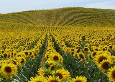 В Тамбовской области проводится работа по увеличению доли семян подсолнечника отечественного производства на полях