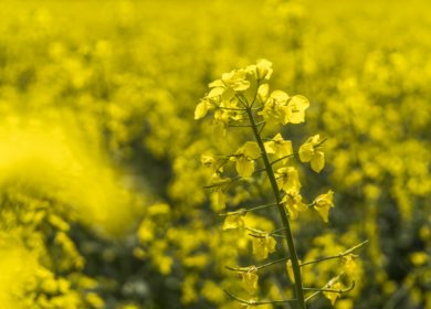 Кубанские аграрии получат 456 млн рублей субсидий на производство масличных культур