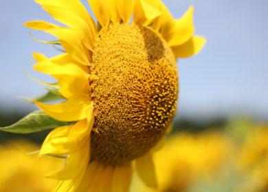 Украина за год увеличила экспорт семян подсолнечника практически в 4 раза