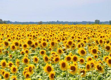Специалисты Воронежского филиала ФГБУ «Центр оценки качества зерна» подтвердили в марте качество более 20,9 тыс. тонн семян масличных культур
