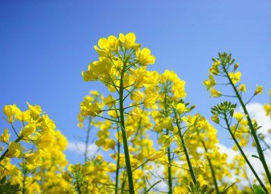 Страны ЕС начали закупать больше рапса и меньше пальмового масла в текущем сезоне