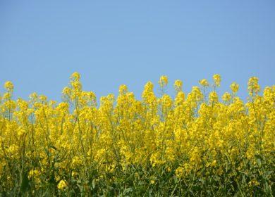 Фермеры Брянской области вдвое увеличили посевы рапса