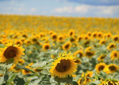 Субсидии на стимулирование производства масличных культур начнут получать аграрии Оренбургской области