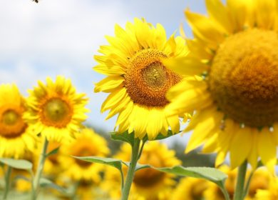В Казахстане передумали вводить экспортную пошлину на семена подсолнечника