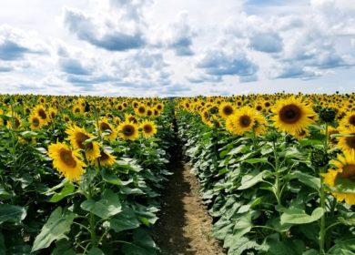 Аналитики «АПК-Информ» снизили оценку производства семян подсолнечника в России в 2021 г.