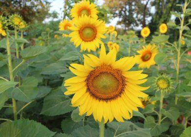В Крыму планируют на четверть увеличить посевы подсолнечника в этом году