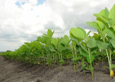 Эксперты USDA незначительно снизили прогноз производства сои в 2021/22 МГ