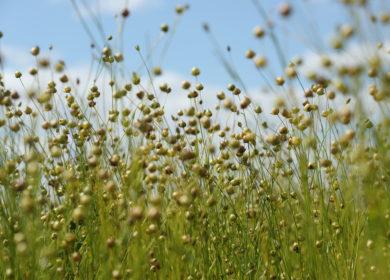 Башкирия экспортировала более 13 тыс. тонн льна за рубеж в 2021 году