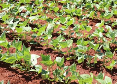 Bayer и Corteva сошлись в битве за рынок ГМО-сои в США