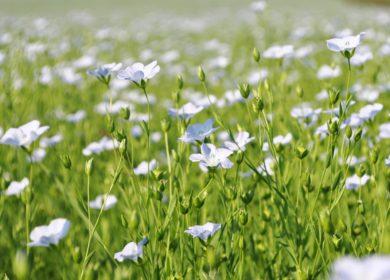 В Омской области планируют увеличить посевы масличного льна