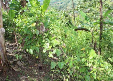 Древнейшая масличная культура инков набирает популярность для эко-производства в Латинской Америке