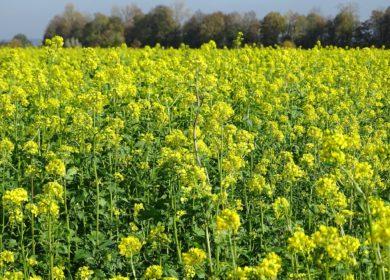 В Волгоградской области площади посевов горчицы увеличились практически вдвое